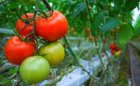 Walau Sering Disangka Sayur Ternyata Ini Manfaat Tomat Bagi Kesehatan
